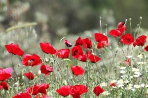 poppy_flower